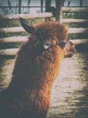 Mladá Lama v zoo. Zvířata v zajetí