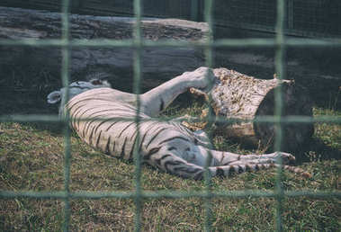 White tiger sleeping in the zoo. Animals in captivity