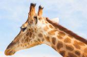 Fotografie Velké žirafy v zoo. Zvířata v zajetí