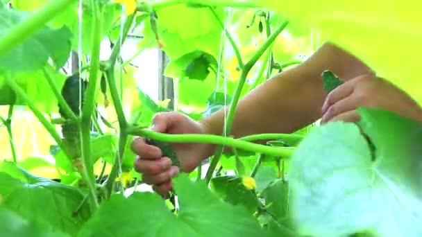 Uborkát szüretelni egy üvegházban. Házi készítésű termés. Zöldségek a kertjéből. Mezőgazdasági termékek gyűjtésének koncepciója. Egészséges táplálkozás