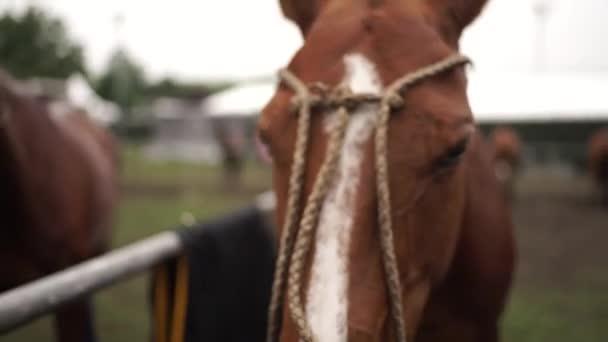 stallion del cavallo del thoroughbred bella