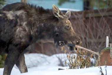 Moose in yard looking for food.
