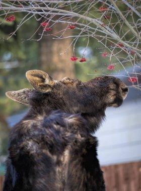 Moose has to get those berries.