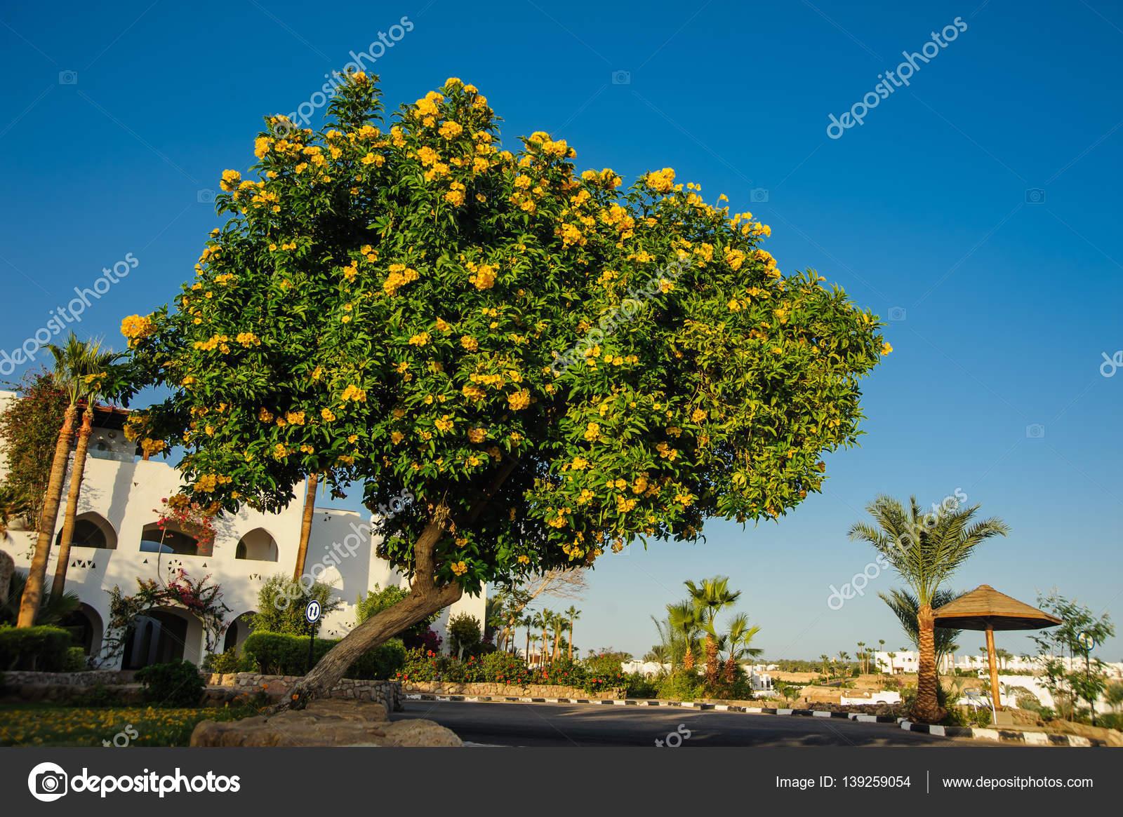 rbol tropical con flores amarillas foto de stock med photo studio 139259054. Black Bedroom Furniture Sets. Home Design Ideas
