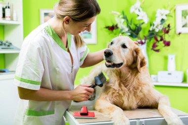Woman getting Golden Retriever fur care
