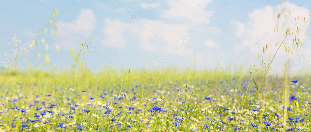 Meadow with flowers in summer