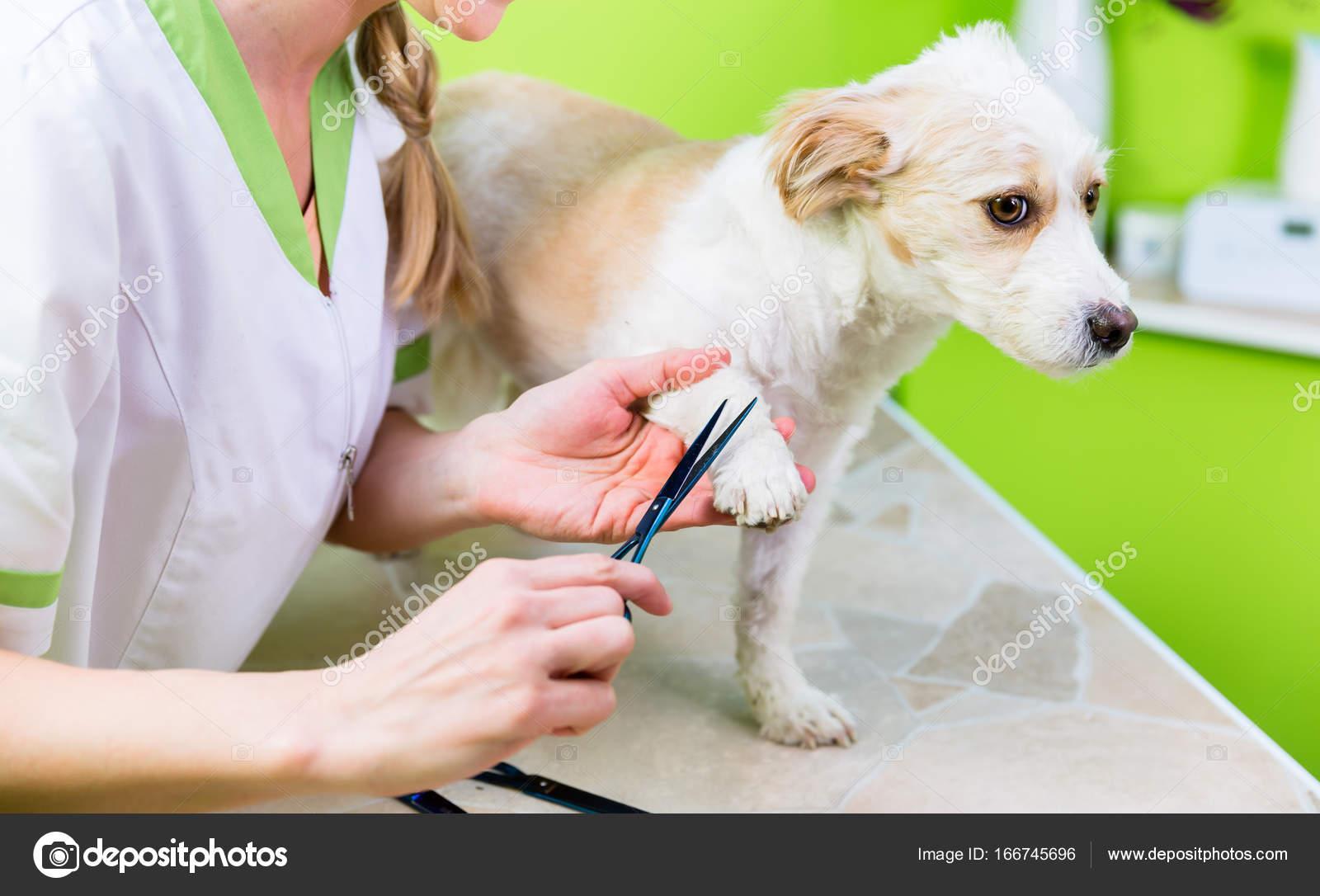Manicure For Dog In Pet Grooming Salon Stock Photo C Kzenon 166745696