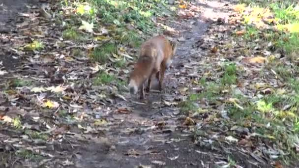 Red fox walking on forest road