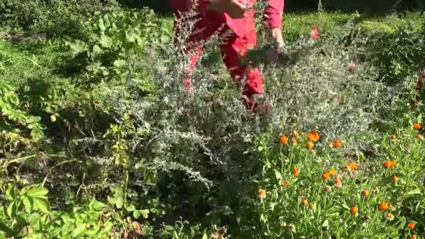 Zahradník, výdej lékařských absinthu pelyňku, 4k