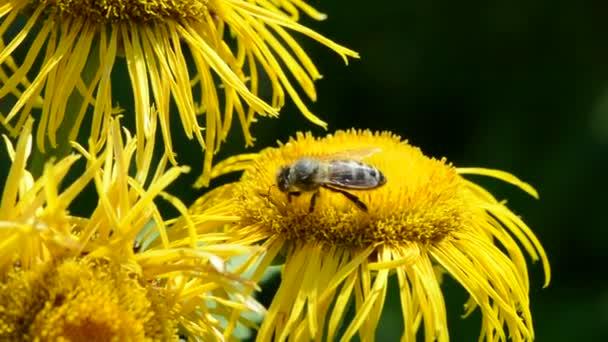 Méhecske örménygyökér