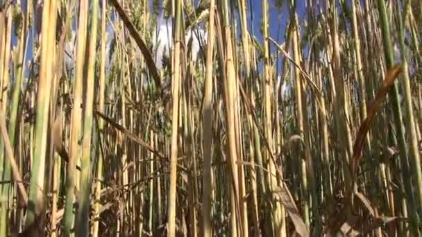 dozrávání pšenice letničky v poli