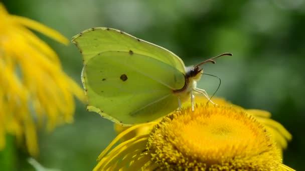 Brimstone motýl na rozkvetlé Oman pravý květ v zahradě