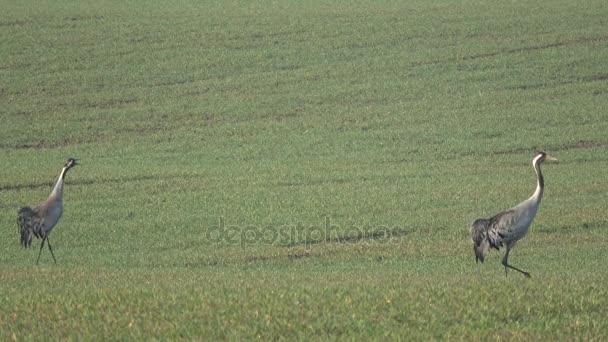 wunderschöne Vögel Kraniche Grus Grus zwei Paare auf Frühling Weizenfeld, 4k