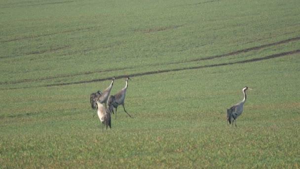 Zwei Paare Kraniche Grus auf landwirtschaftlichen Flächen im Frühjahr, 4k