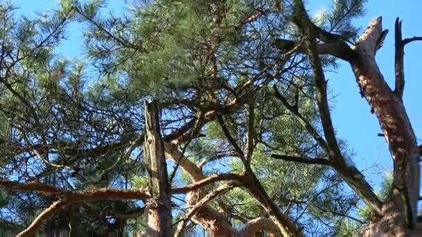 Három piros mókusok párzási idő játék a régi fenyő, tavasszal