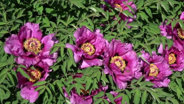 Many bees on beautiful  peony flowers