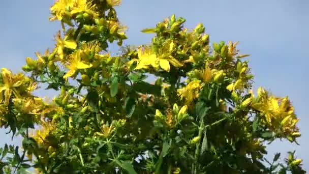 Rotating on blue sky background beautiful medical St. Johns wort tutsan flowers
