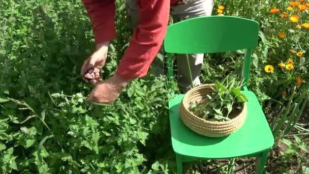 Gärtnerin Kräuterpädagogin pflückt im Sommer frische Heilpflanzen der Melisse