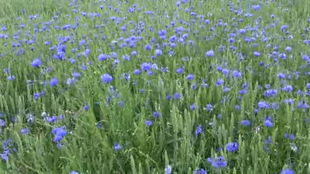 Vítr v létě zelené pole s pšenicí a mnoha chrpy, přírodní pozadí