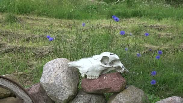 Lebka lebka koně na kameny v hospodářský dvůr a chrpy v vítr