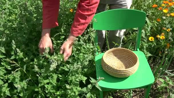 Herbalist picking fresh medical lemon balm in summer garden