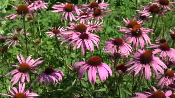 Beautiful medical coneflowers Echinacea purpurea  background in summer wind