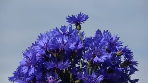 Rotating on sky background bunch blue cornflowers