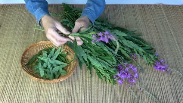 Picking medical herb leaves from wild fireweed ivan-tea Epilobium angustifolium flowers