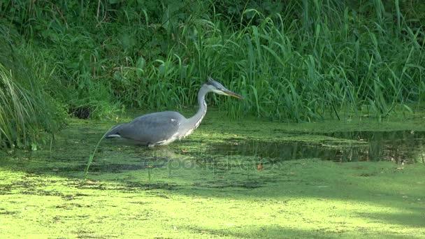 Volavka popelavá loví malé ryby v létě rybník a jíst jeho