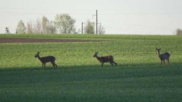 srnec skupina na jaře zelená pole ráno