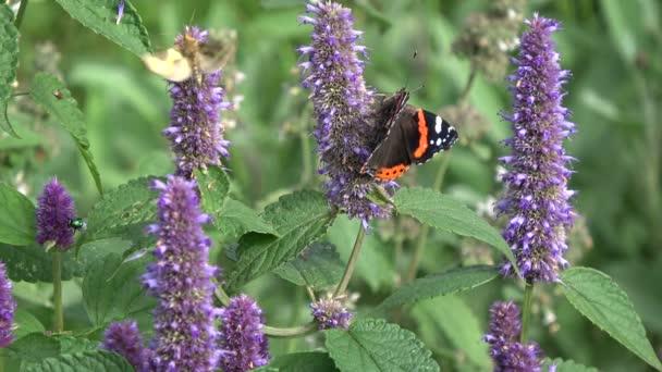 pillangó piros admirális és darázs Ánizs izsóp virágok