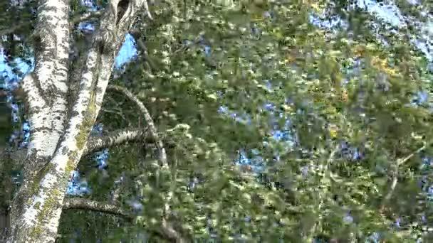 Nyír fatörzsek és ágak, levelek, szél természet háttérben