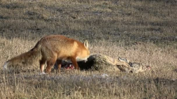 beautiful animal red fox Vulpes eating  roe deer carrion meat on spring field