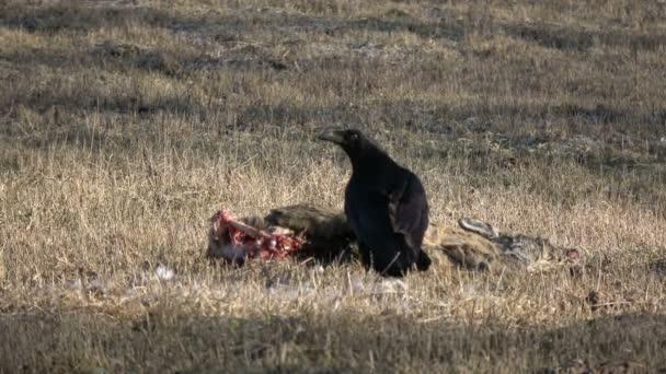 Corvus corax a tavaszi halott őz dög húsevés Raven