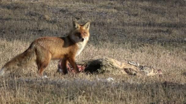divokých zvířat liška Vulpes stravovací srnec mršiny na hřišti