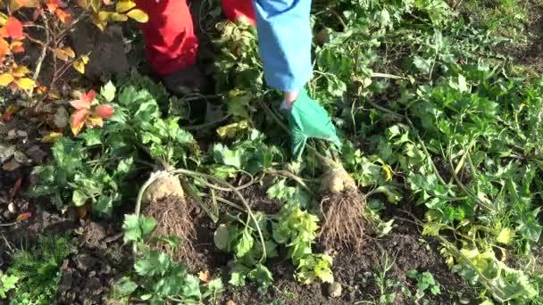 Gardener Harvesting Celery Vegetables Autumn Garden Stock Video