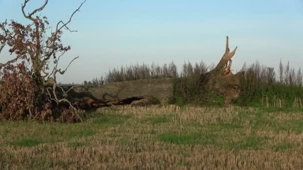 Break  old oak tree on farmland field after summer end storm