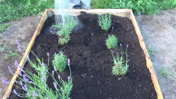 Zahradník zalévání čerstvě osázené levandulové sazenice v dřevěné vyvýšené květinové záhonu