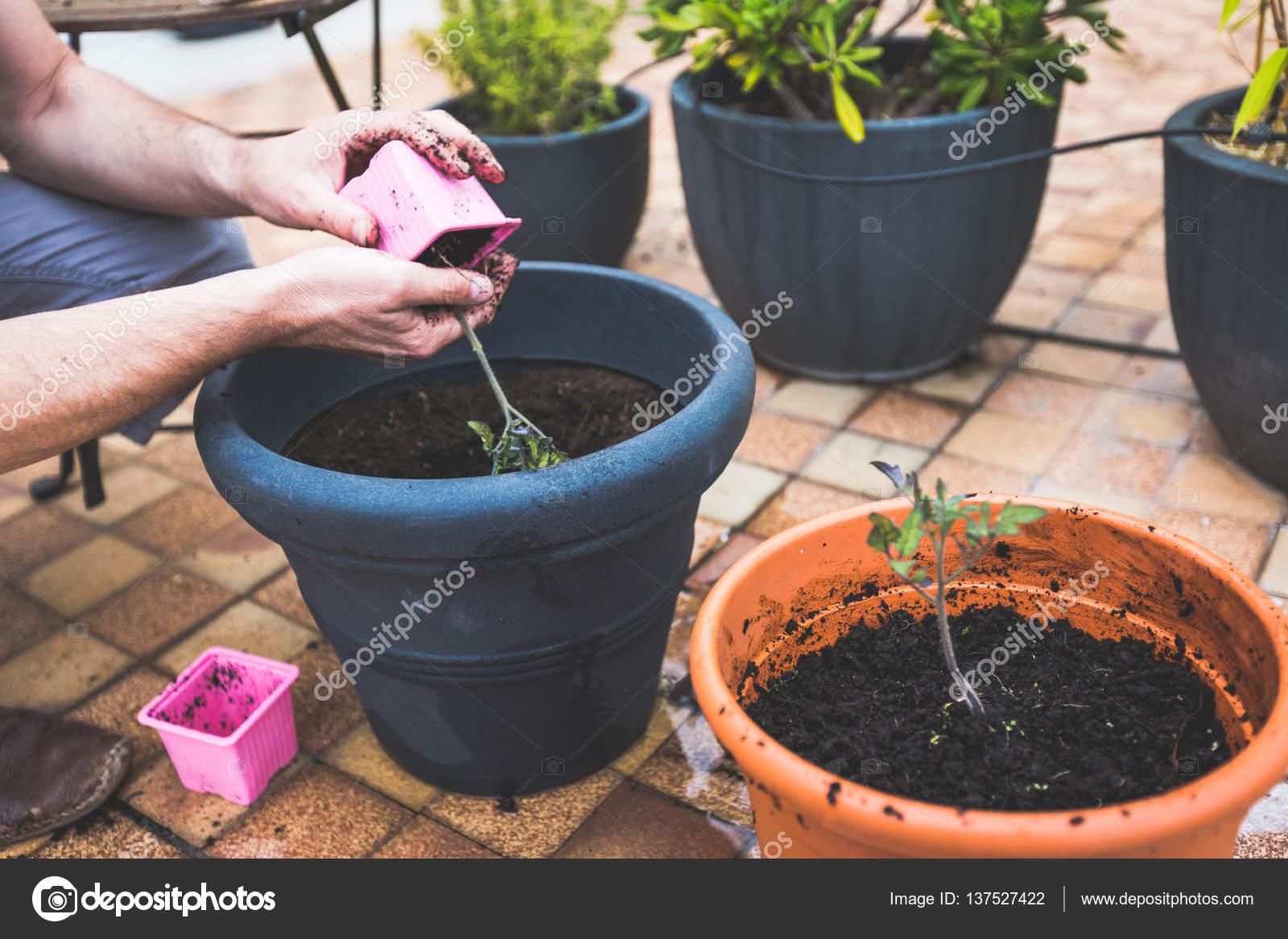 Erwachsener Mann Auf Seinem Balkon Tomaten Pflanzen Stockfoto