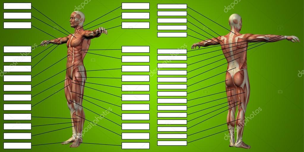 Mann-Anatomie und Muskeln Textfelder — Stockfoto © design36 #126496178