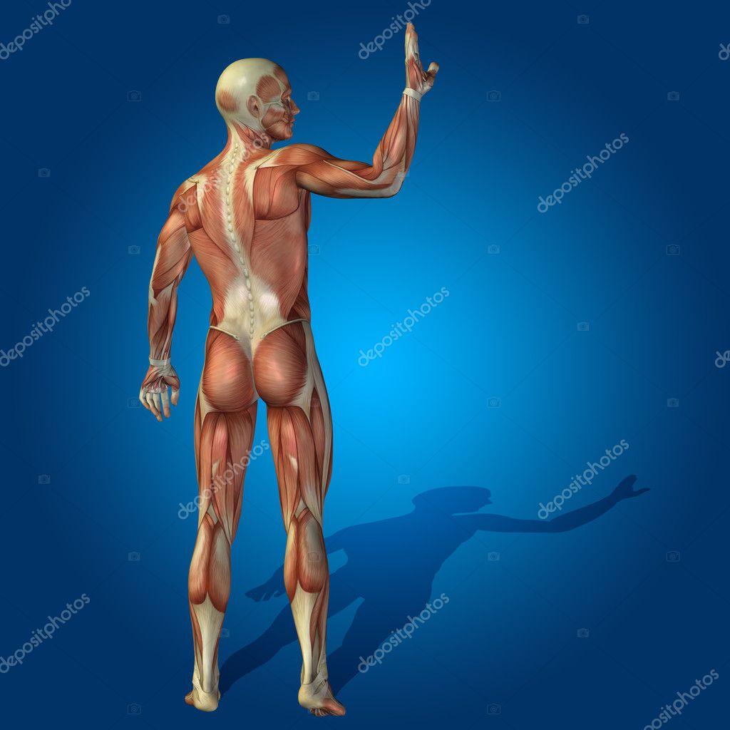 Anatomie Körper mit Muskeln — Stockfoto © design36 #126499434