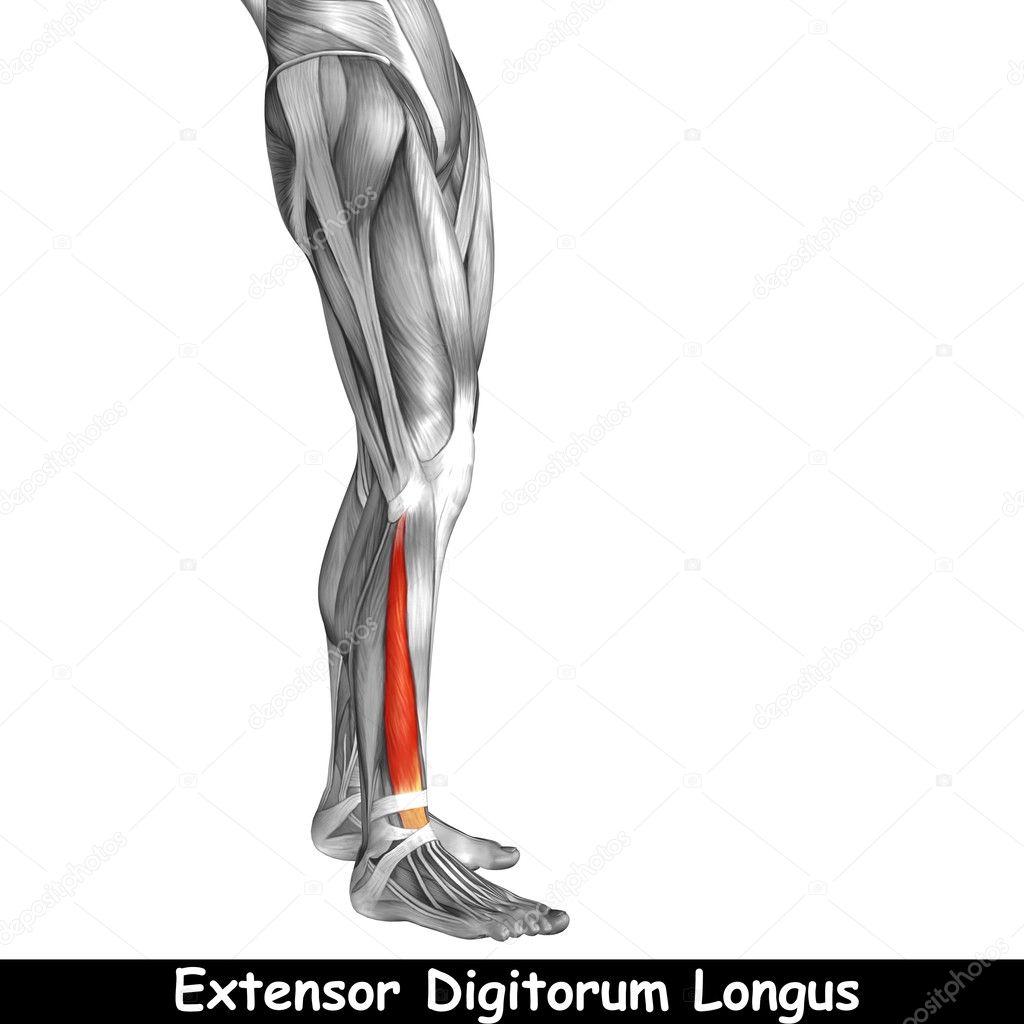 Anatomie der unteren Beine — Stockfoto © design36 #126523604