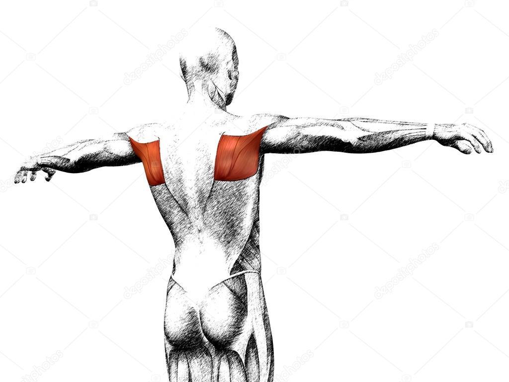 Anatomía de la espalda — Fotos de Stock © design36 #126564810