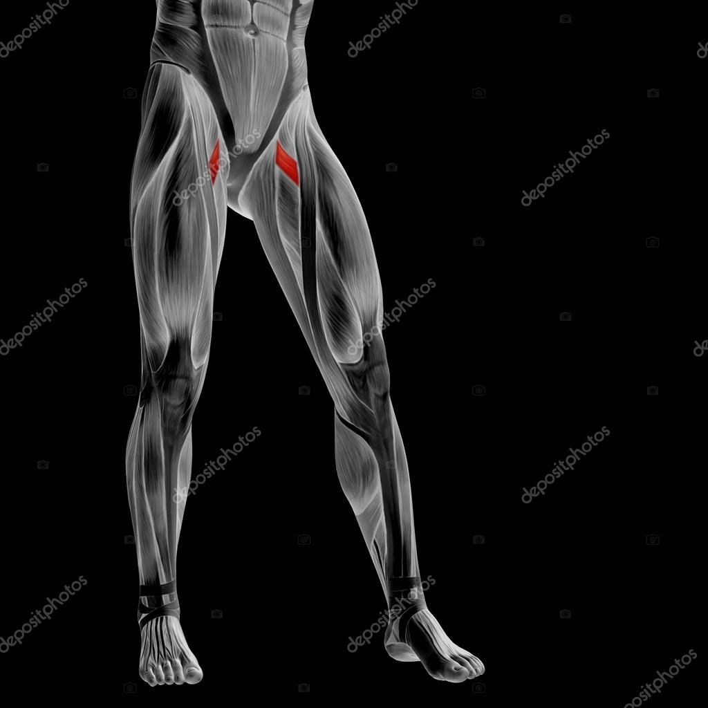 menschliche Oberschenkel-Anatomie — Stockfoto © design36 #126568264