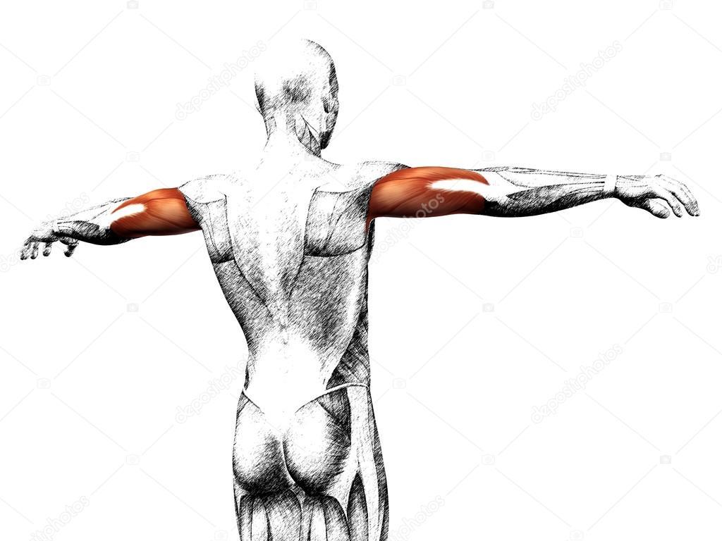 Trizeps menschliche Anatomie — Stockfoto © design36 #126570412