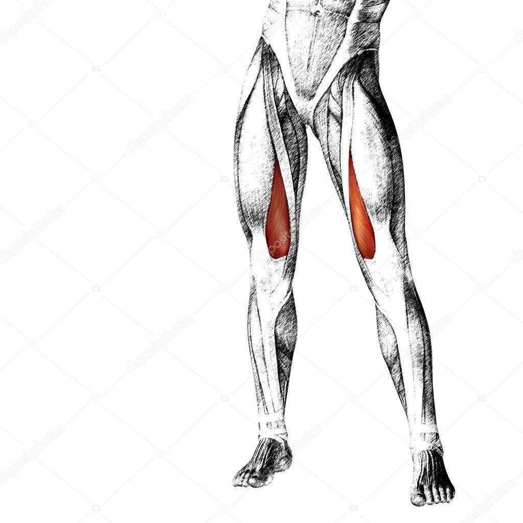 menschliche Oberschenkel-Anatomie — Stockfoto © design36 #126571304