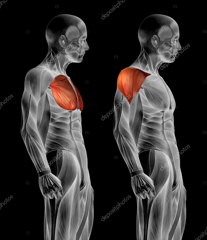 Anatomie der menschlichen Brust — Stockfoto © design36 #126572188