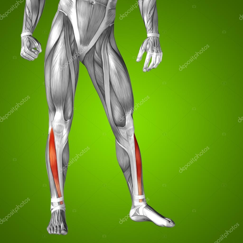 Nett Untere Anatomie Extremität Arterien Bilder - Menschliche ...