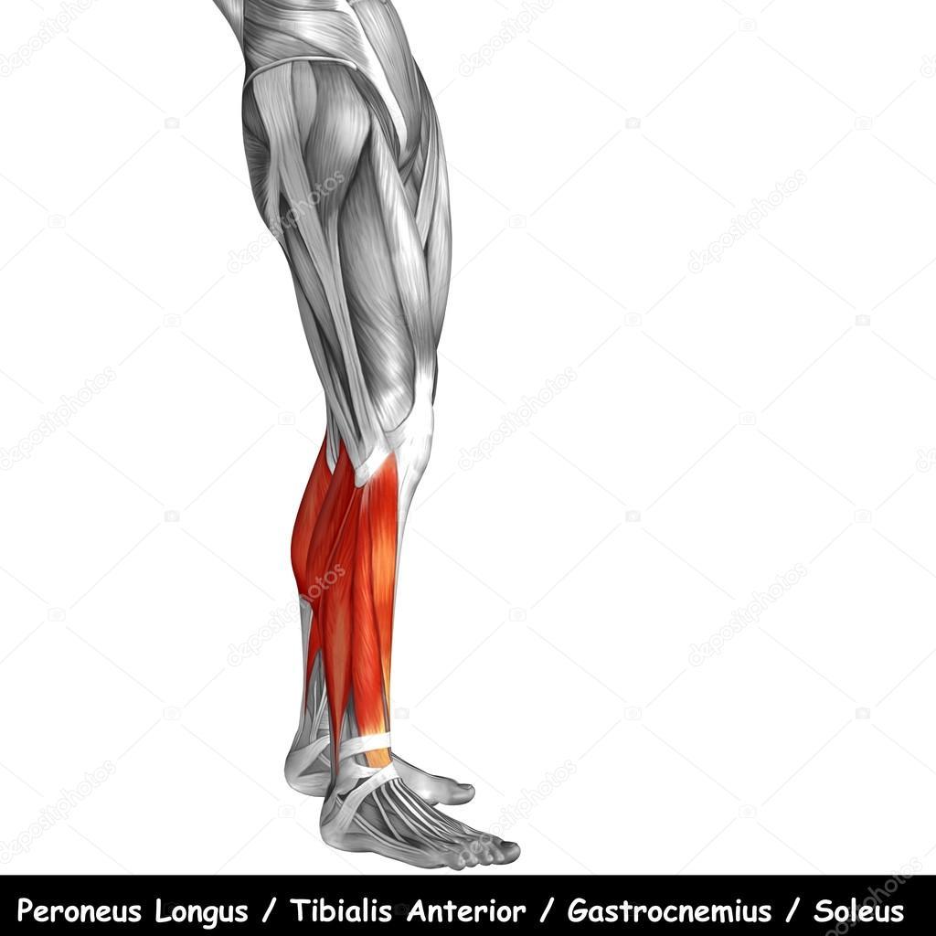 Anatomía de las piernas más baja — Fotos de Stock © design36 #126574198