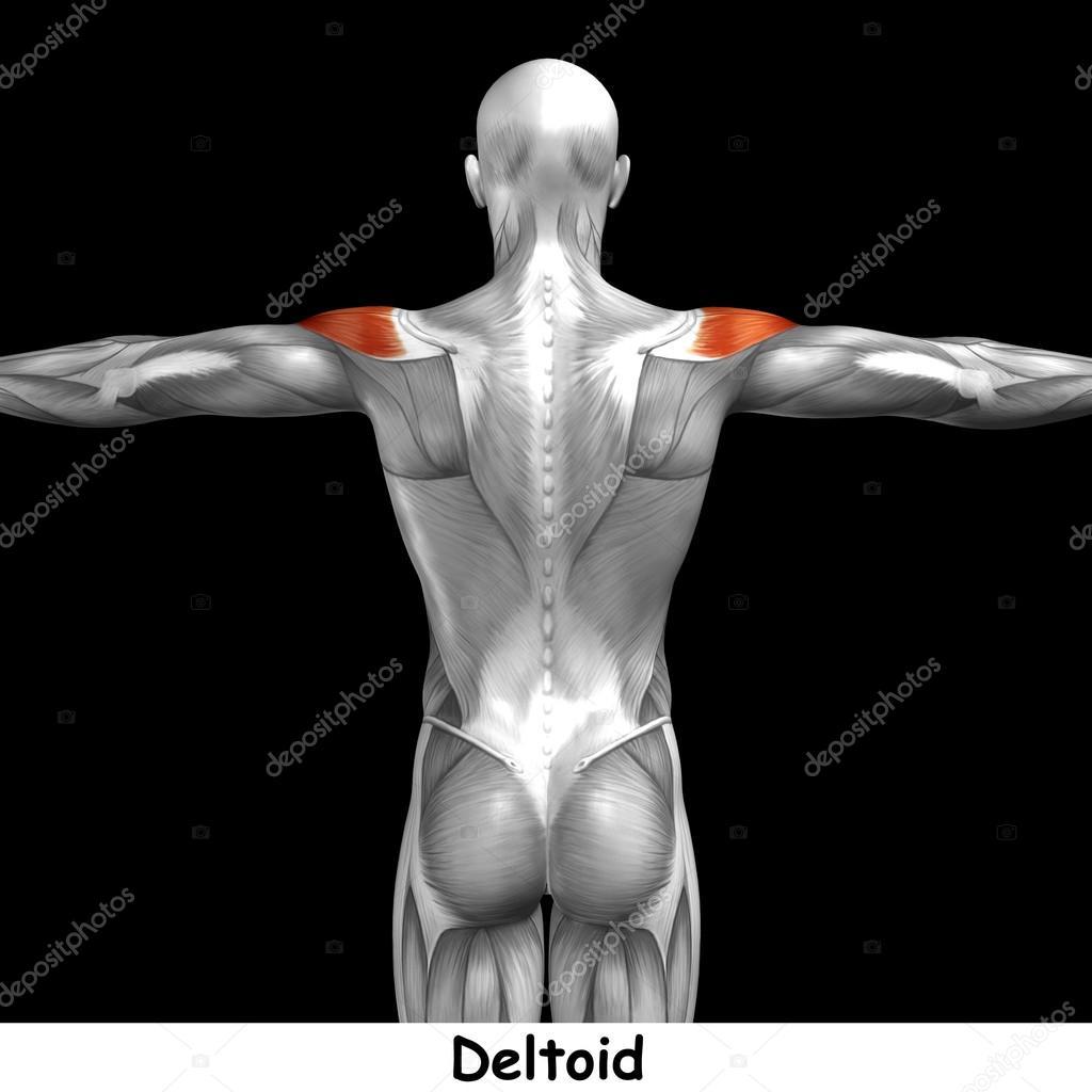 Anatomie des Menschen zurück — Stockfoto © design36 #126574346